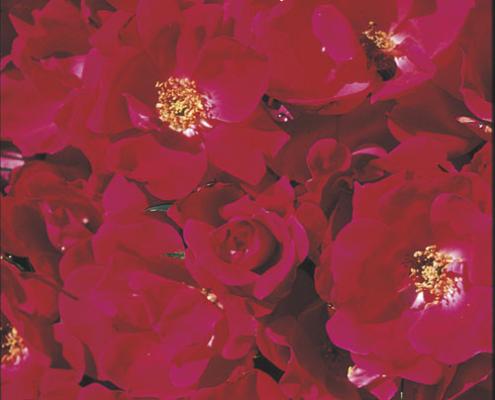 Rose Knock Out Herbeins Garden Center