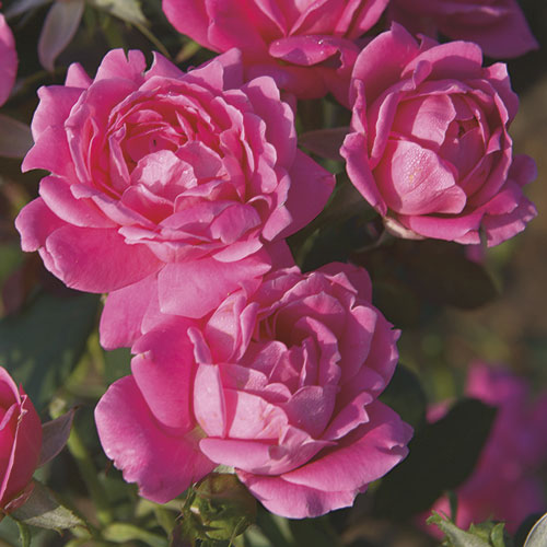 Rose Pink Double Knock Out Herbeins Garden Center