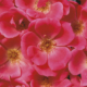 Rose Pink Knock Out Herbeins Garden Center