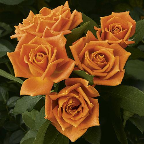 Rose Pumpkin Patch Herbeins Garden Center