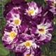Rose Purple Splash Herbeins Garden Center