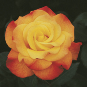 Rose Rio Samba Herbeins Garden Center
