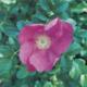 Rose Rosa Rugosa Herbeins Garden Center