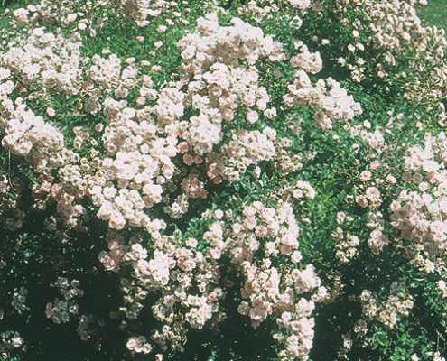 Rose The Fairy Herbeins Garden Center