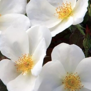 Rose White Knock Out Herbeins Garden Center