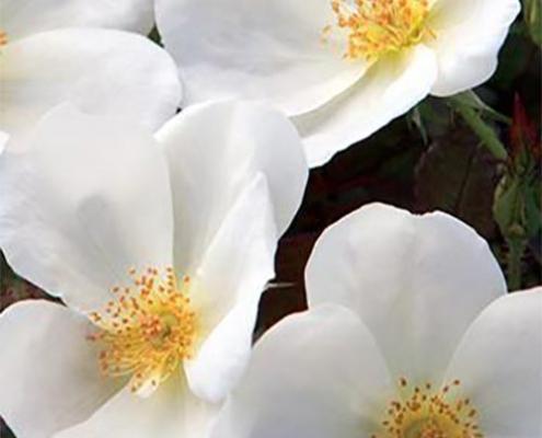 Rose White Knock Out Herbeins Garden Center
