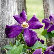 Purple Clematis Herbeins
